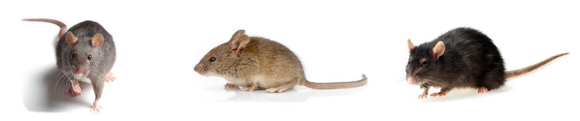 Trattamento topi e roditori disinfestazione zanzare - Come uccidere i topi in casa ...